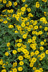 Sunvy Trailing Creeping Zinnia (Sanvitalia procumbens 'Sunvy Trailing') at Roger's Gardens