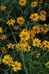 Star Gold Zinnia (Zinnia angustifolia 'Star Gold') at Roger's Gardens