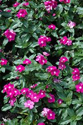 Cora Purple Eye Vinca (Catharanthus roseus 'Cora Purple Eye') at Roger's Gardens