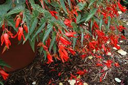 Santa Cruz Begonia (Begonia boliviensis 'Santa Cruz') at Roger's Gardens