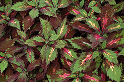 Marquee Special Effects Coleus (Solenostemon scutellarioides 'Special Effects') at Roger's Gardens