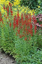 Cardinal Flower (Lobelia cardinalis) at Roger's Gardens