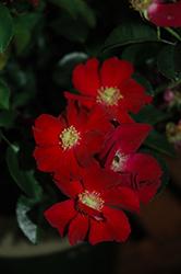 Flower Carpet Red Rose (Rosa 'Flower Carpet Red') at Roger's Gardens