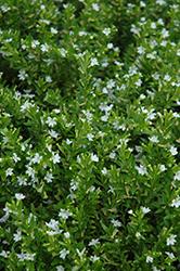 White False Heather (Cuphea hyssopifolia 'Alba') at Roger's Gardens