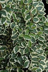 Variegated Creeping Fig (Ficus pumila 'Variegata') at Roger's Gardens