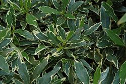 Variegated Radicans Gardenia (Gardenia jasminoides 'Radicans Variegata') at Roger's Gardens