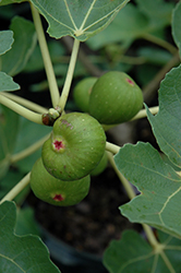 Common Fig (Ficus carica) at Roger's Gardens