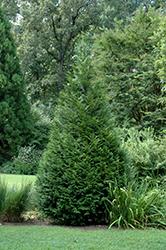 California Incense Cedar (Calocedrus decurrens) at Roger's Gardens