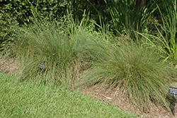 Regal Mist Muhly Grass (Muhlenbergia capillaris 'Lenca') at Roger's Gardens