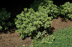 Variegated Mock Orange (Pittosporum tobira 'Variegatum') at Roger's Gardens