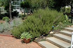 Rosemary (Rosmarinus officinalis) at Roger's Gardens