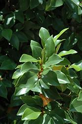 Banana Shrub (Magnolia figo) at Roger's Gardens