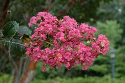 Watermelon Red Crapemyrtle (Lagerstroemia indica 'Watermelon Red') at Roger's Gardens