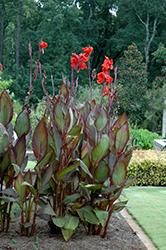 Australia Canna (Canna 'Australia') at Roger's Gardens