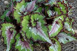 Jurassic Watermelon Begonia (Begonia 'Jurassic Watermelon') at Roger's Gardens