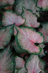 Heart to Heart Chinook Caladium (Caladium 'Chinook') at Roger's Gardens