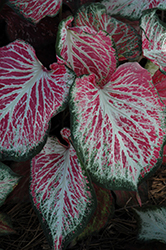 Blushing Bride Caladium (Caladium 'Blushing Bride') at Roger's Gardens