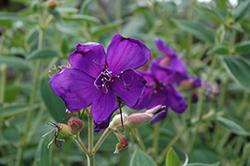 Athens Blue Princess Flower (Tibouchina urvilleana 'Athens Blue') at Roger's Gardens