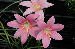 Pink Rain Lily (Zephyranthes rosea) at Roger's Gardens