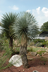 Beaked Yucca (tree form) (Yucca rostrata (tree form)) at Roger's Gardens