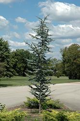 Blue Atlas Cedar (Cedrus atlantica 'Glauca') at Roger's Gardens