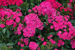 Jolt Pink Pinks (Dianthus 'Jolt Pink') at Roger's Gardens