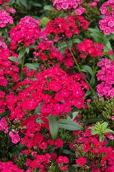 Jolt Cherry Pinks (Dianthus 'Jolt Cherry') at Roger's Gardens