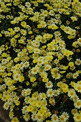 Butterfly Marguerite Daisy (Argyranthemum frutescens 'Butterfly') at Roger's Gardens