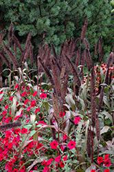 Purple Baron Millet (Pennisetum 'Purple Baron') at Roger's Gardens