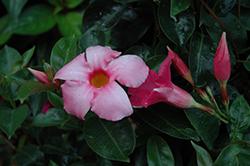 Summer Romance Vining Pink Mandevilla (Mandevilla 'Summer Romance Vining Pink') at Roger's Gardens