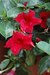 Summer Romance Vining Red Mandevilla (Mandevilla 'Summer Romance Vining Red') at Roger's Gardens