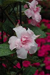 Summer Romance Double Pink Mandevilla (Mandevilla 'Summer Romance Double Pink') at Roger's Gardens