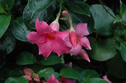 Summer Romance Bush Pink Mandevilla (Mandevilla 'Summer Romance Bush Pink') at Roger's Gardens