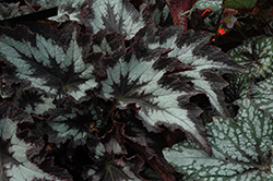 Jurassic Silver Point Begonia (Begonia 'Jurassic Silver Point') at Roger's Gardens