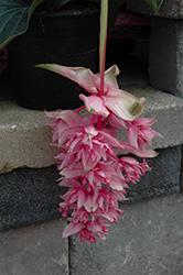 Dolce Vita Medinilla (Medinilla 'Dolce Vita') at Roger's Gardens