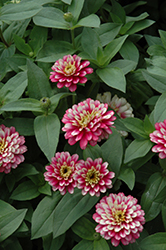 UpTown Frosted Strawberry Zinnia (Zinnia 'UpTown Frosted Strawberry') at Roger's Gardens