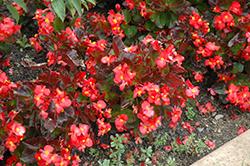 BabyWing Red Begonia (Begonia 'BabyWing Red') at Roger's Gardens