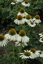 Sombrero Blanco Coneflower (Echinacea 'Balsomblanc') at Roger's Gardens