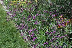 Santos Purple Verbena (Verbena rigida 'Santos Purple') at Roger's Gardens