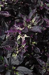 Purple Flash Ornamental Pepper (Capsicum annuum 'Purple Flash') at Roger's Gardens