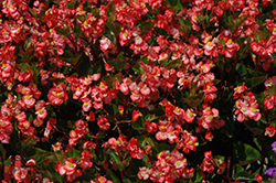 BabyWing Bicolor Begonia (Begonia 'BabyWing Bicolor') at Roger's Gardens