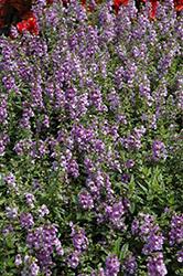 Serenita Sky Blue Angelonia (Angelonia angustifolia 'Serenita Sky Blue') at Roger's Gardens