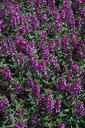 Serenita Purple Angelonia (Angelonia angustifolia 'PAS803822') at Roger's Gardens