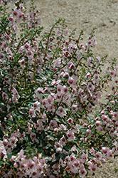 Archangel Light Pink Angelonia (Angelonia angustifolia 'Archangel Light Pink') at Roger's Gardens
