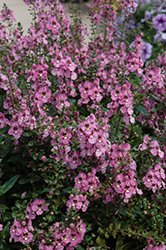 Archangel Orchid Pink Angelonia (Angelonia angustifolia 'Archangel Orchid Pink') at Roger's Gardens