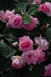 Fiesta Bonita Pink Double Impatiens (Impatiens 'Balbonipink') at Roger's Gardens