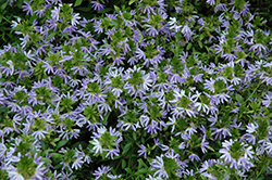 White Sparkle Fan Flower (Scaevola aemula 'White Sparkle') at Roger's Gardens