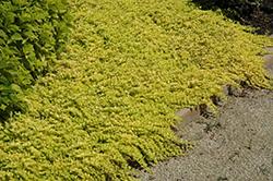 Goldilocks Creeping Jenny (Lysimachia nummularia 'Goldilocks') at Roger's Gardens