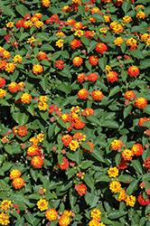 Lucky Flame Lantana (Lantana camara 'Lucky Flame') at Roger's Gardens