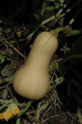 Butterscotch Squash (Cucurbita moschata 'Butterscotch') at Roger's Gardens